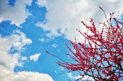 Cherry blossom in japan. Beautiful pink cherry blossom, sakura with blue sky could in the background stock photo