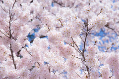 A cherry blossom in Japan called Sakura blooming on its branch in Spring Royalty Free Stock Photo