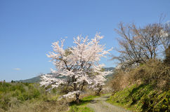 Cherry blossom, Japan Royalty Free Stock Photography