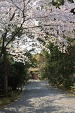 Cherry Blossom.Japan. Cherry Blossom in the Ryoan-ji Temple,Kyoto,Japan Royalty Free Stock Image
