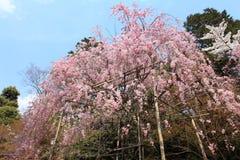 Cherry Blossom.Japan. Cherry Blossom in the Ryoan-ji Temple,Kyoto,Japan Stock Photos