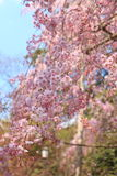 Cherry Blossom.Japan Royalty Free Stock Images