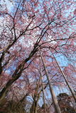 Cherry Blossom.Japan Royalty Free Stock Photography