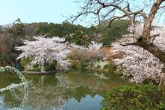 Cherry Blossom.Japan. Cherry Blossom in the Ryoan-ji Temple,Kyoto,Japan Royalty Free Stock Photography