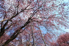 Cherry Blossom.Japan Stock Image