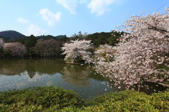 Cherry Blossom.Japan Stock Photos