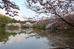 Cherry Blossom.Japan. Cherry Blossom in the Ryoan-ji Temple,Kyoto,Japan Stock Images