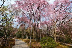Cherry Blossom.Japan. Cherry Blossom in the Ryoan-ji Temple,Kyoto,Japan Royalty Free Stock Photos