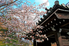 Cherry Blossom.Japan Royalty Free Stock Image