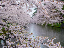 Cherry blossom or Japanese flowering cherry in Japan. Royalty Free Stock Images