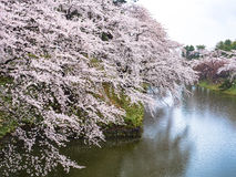Cherry blossom or Japanese flowering cherry in Japan. Royalty Free Stock Photography