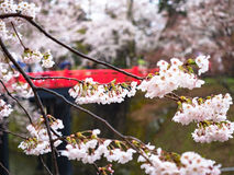 Cherry blossom or Japanese flowering cherry in Japan. Royalty Free Stock Photos