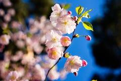 Cherry Blossom Japanse Kers De Japanse tak van kersenbloemen Stock Afbeelding