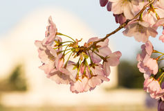 Cherry Blossom and Jefferson Memorial Stock Images