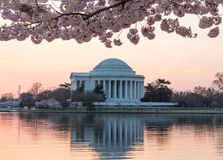 Cherry Blossom and Jefferson Memorial at sunrise royalty free stock images