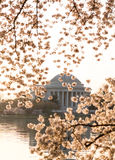 Cherry Blossom and Jefferson Memorial at sunrise Stock Photography