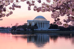 Cherry Blossom and Jefferson Memorial at sunrise Royalty Free Stock Photography