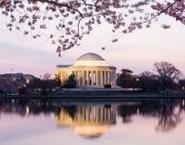 Cherry Blossom and Jefferson Memorial at sunrise Royalty Free Stock Photo