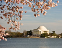 Cherry Blossom and Jefferson Monument. Jefferson Monument framed by cherry blossoms in April stock photo