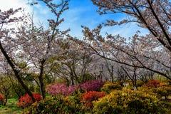 Cherry Blossom Joy in the Garden of Life royalty free stock photos