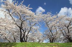 Cherry blossom  in  Kakunodate Stock Images