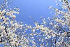 Cherry blossom  in  Kakunodate Royalty Free Stock Photos