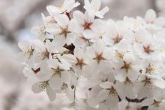 Cherry blossom  in  Kakunodate Royalty Free Stock Photo