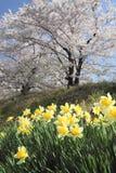 Cherry blossom  in  Kakunodate Royalty Free Stock Image
