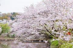 Cherry Blossom in Kamakura City Royalty Free Stock Photography