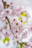 Cherry Blossom in Kamakura City Stock Photo