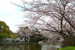 Cherry blossom, Kamakura, Japan Stock Images