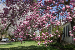 Cherry blossom in Kenwood MD. Pink flowers, house in Kenwood Maryland at Cherry blossoms Royalty Free Stock Photo
