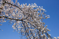 Cherry blossom in Kenwood MD. White flowers blooming in Kenwood Maryland at Cherry blossoms Stock Image