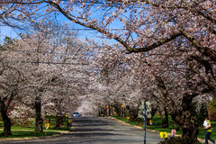 Cherry blossom in Kenwood MD. White pink  flowers blooming in Kenwood Maryland at Cherry blossoms Stock Image