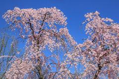 Cherry blossom in Kenwood MD. White pink flowers blooming in Kenwood Maryland at Cherry blossoms Royalty Free Stock Photography