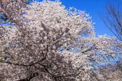 Cherry blossom in Kenwood MD. White pink flowers blooming in Kenwood Maryland at Cherry blossoms Stock Photography