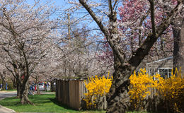 Cherry blossom in Kenwood MD. White pink yellow flowers blooming in Kenwood Maryland at Cherry blossoms Stock Photos
