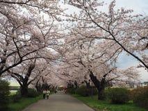 Cherry Blossom/Kirschblüte Stockfotos