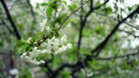 Cherry Blossom Kirschblume auf Wind Frühlingsblumenblüte auf Kirschbaum stock video