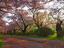 Cherry Blossom in Kitakami Japan. Cheery Blossom Festival in Kitakami in Iwate, Japan. Famous for beautiful tunnel of cherry trees planted alongside the Kitakami Stock Image