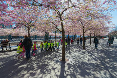 Cherry blossom in Kungstradgarden with herded children Royalty Free Stock Photos