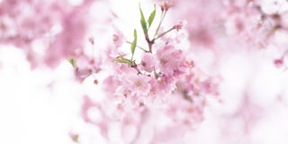 Cherry Blossom of Kyoto Botanical Garden during the spring in Kyoto, Japan. stock photography