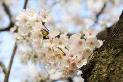 Cherry blossom Royalty Free Stock Photography