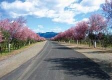 Cherry Blossom Lane Arkivfoto