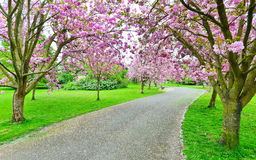 Cherry Blossom Lane. Tree Trees in Blossom Line a Lane through a Beautiful Garden Royalty Free Stock Images