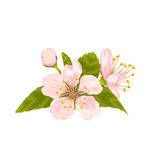 Cherry Blossom with Leaves Isolated on White Background Royalty Free Stock Images