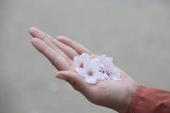 Cherry Blossom in Lentetijd Stock Afbeeldingen