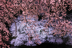 Cherry blossom light up Stock Photo