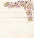 Cherry Blossom Limbs bastante rosado en fondo rústico del tablero blanco con el sitio o espacio para la copia, texto Imagenes de archivo