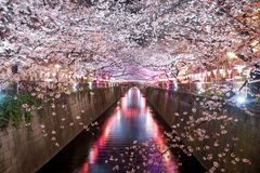 Cherry blossom lined Meguro Canal at night in Tokyo, Japan. Springtime in April in Tokyo, Japan